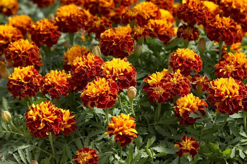 Цветы бархатцы однолетнее или многолетнее