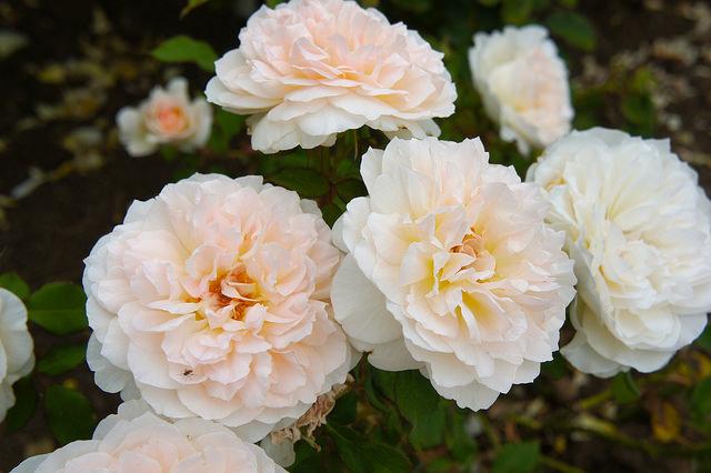 Парковая роза сорта
