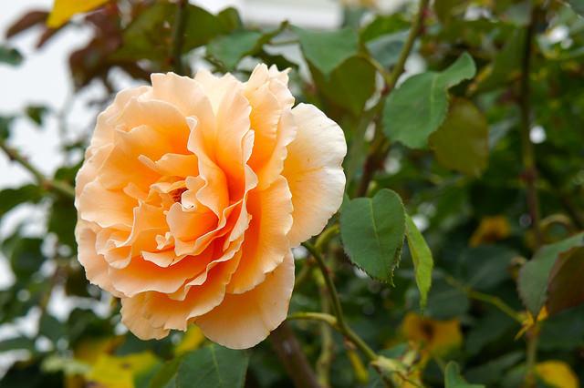 Роза реми Мартин