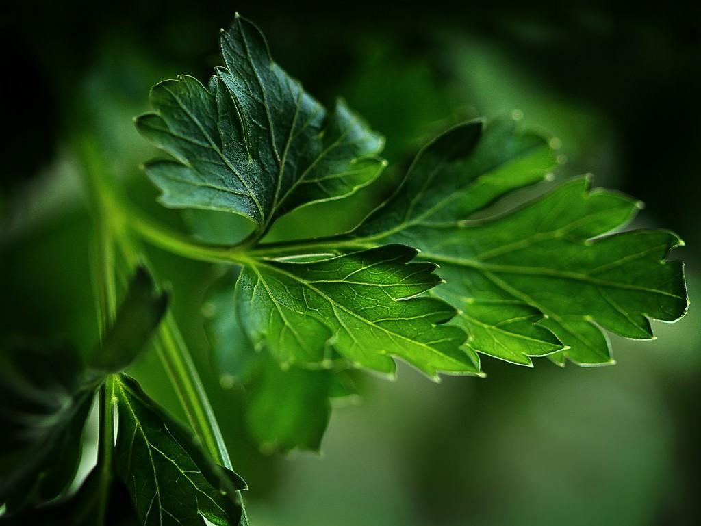 Кориандр фото растения