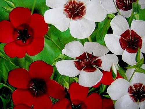 Разнообразие крупноцветкового