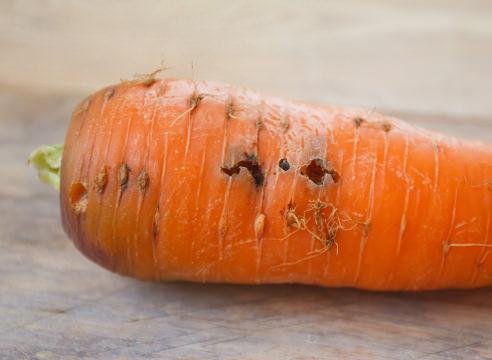 Нематода моркови фото