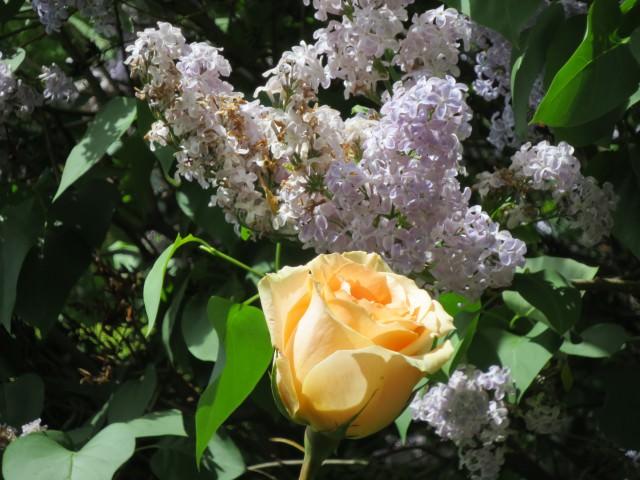 Розы Канадской селекции сорта фото