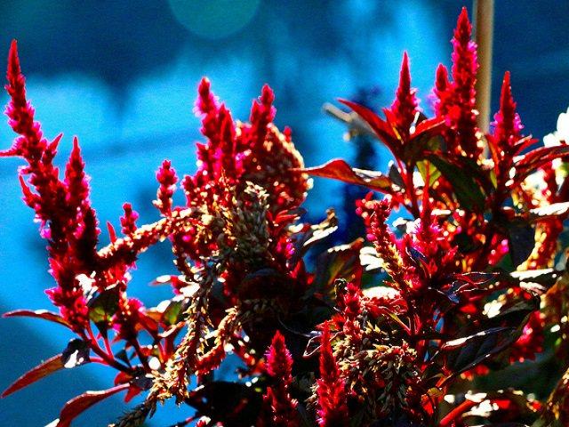 Амарант фото растения