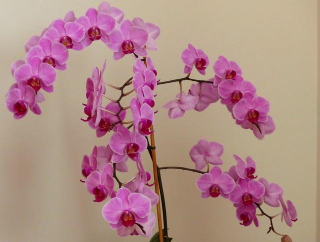 Дикая орхидея многолетник