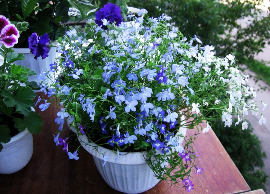 Цветы лобелия посадка и уход фото