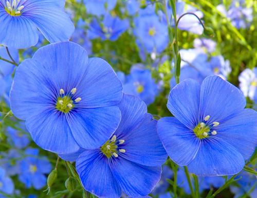 Лен цветок фото