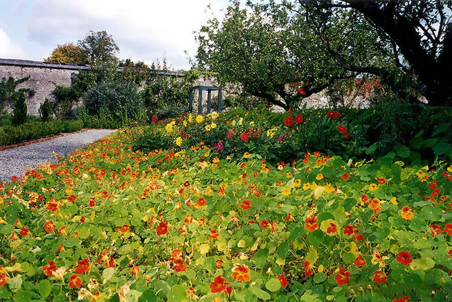 Настурция фото цветов