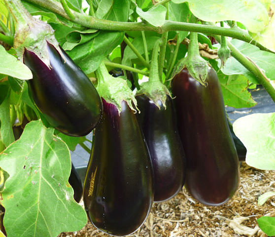 Самая темный самый урожайный сорт баклажан