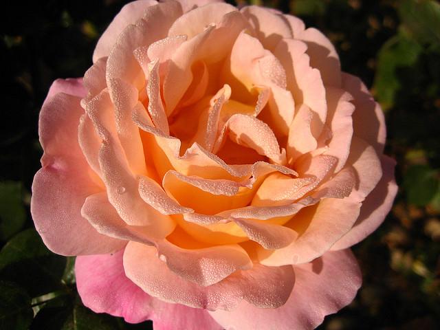 Чайные розы посадка и уход