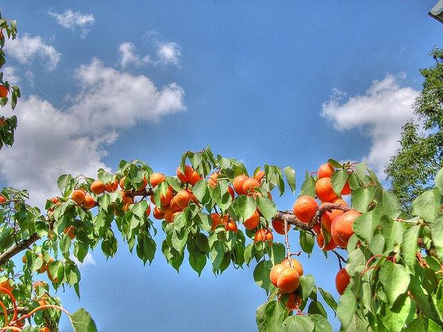 Выращивание абрикоса в Подмосковье