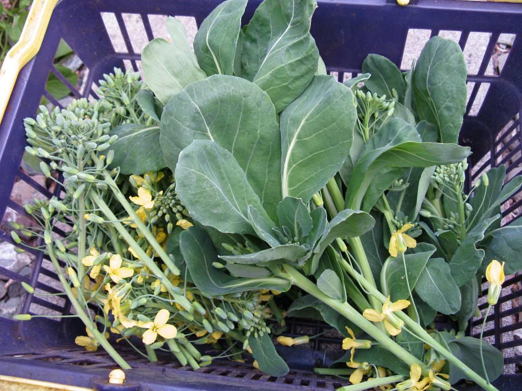 Как вырастить брюссельскую капусту на Огороде?
