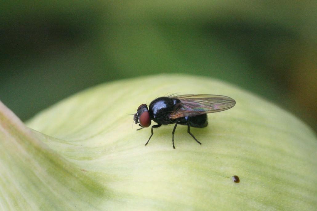 Луковая муха фото