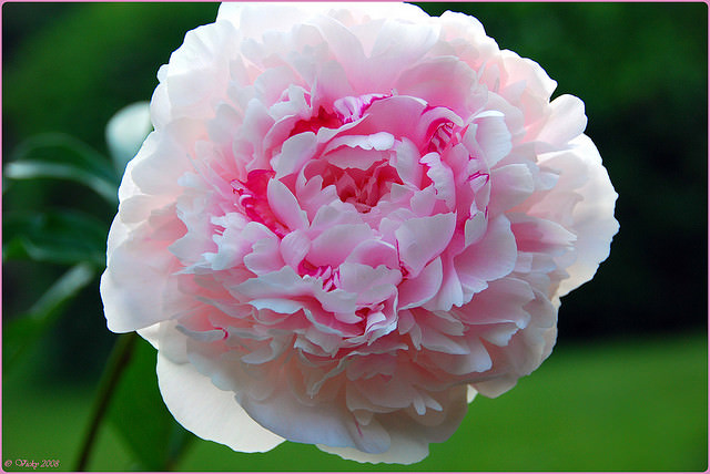 Сорт розы Джон Франклин форум