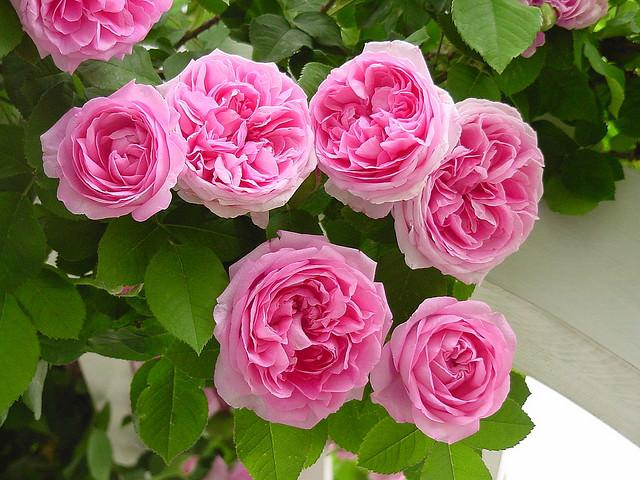 Цветы кустовые многолетники садовые