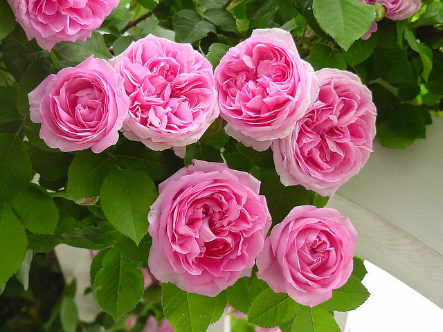 Розы спрей сорта