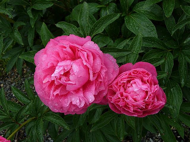 Посадка розы супер феэри в ноябре