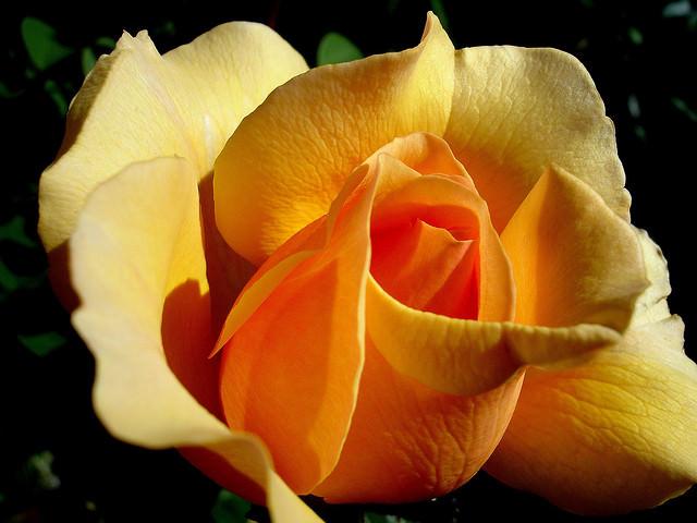 Популярные розы в саду