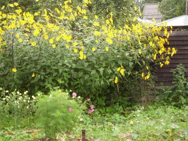 Цветок земляная груша фото цена