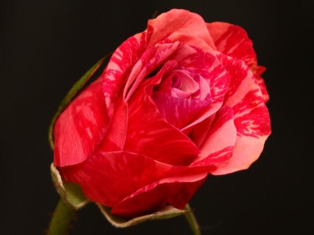 Канадские розы сорта фото описание