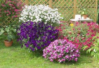 Цветущие однолетники в саду
