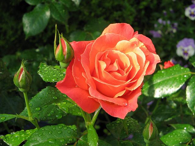 Многоцветковая роза