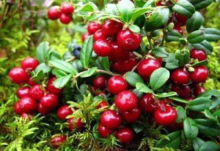 Брусника садовая - вечнозеленый кустарник