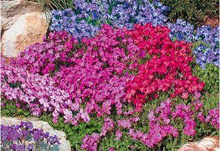 Почвопокровные растения цветущие в саду