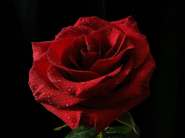 Сорта роз спрей