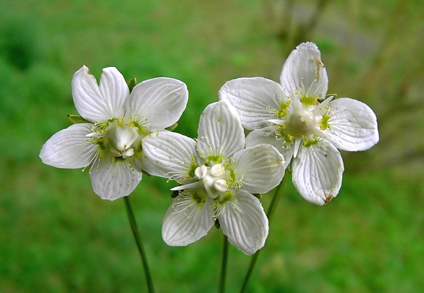 Parnassia grandifolia посадка и уход