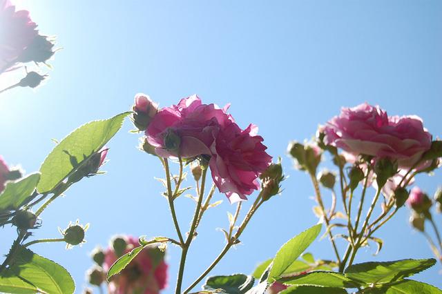 Фото розы парковая красная