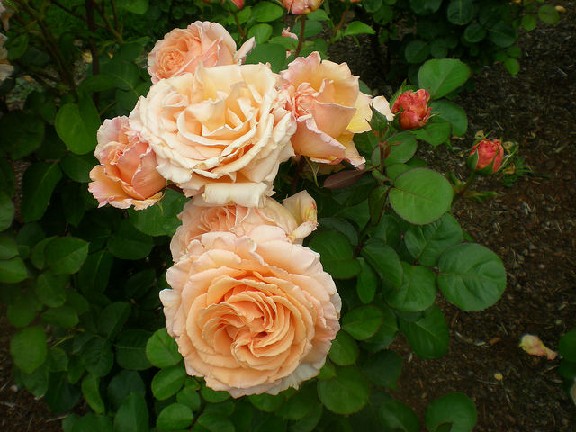 Посадка южных роз