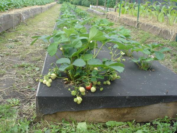 Укрывные материалы в помощь огороднику фото