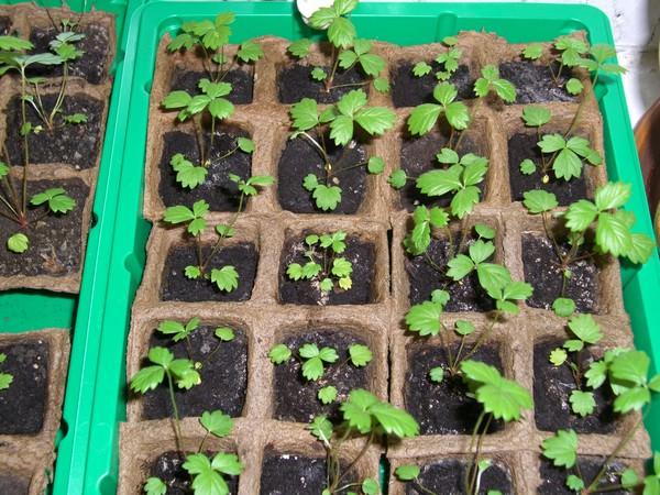 Как посеять Семена земляники на рассаду?