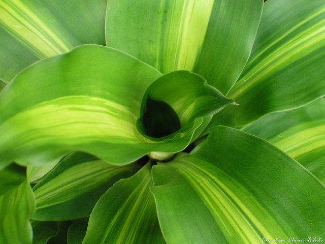 Драцена фото из семян