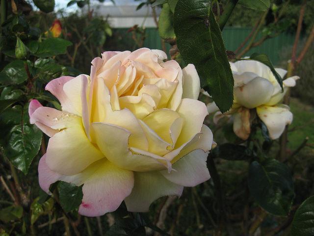 Розы семенами посадка и уход