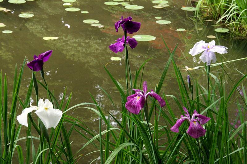 Прудовые растения фото