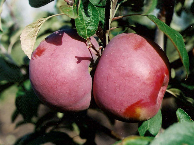 Сорт яблок Мекинтош