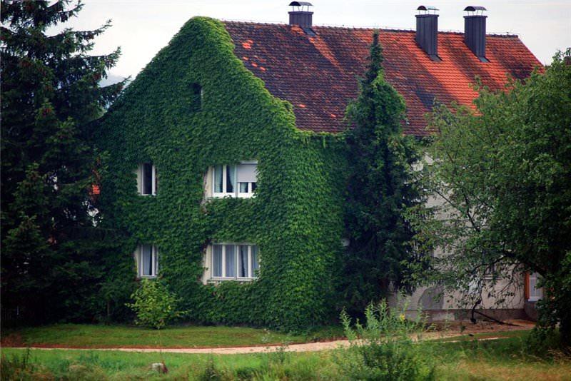 Плющ для озеленения стен