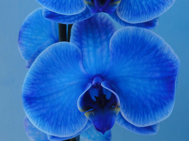 Orchidaceae как размножить