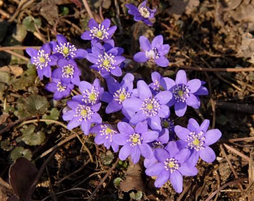 Весенние луковичные цветы названия