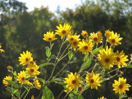 Топинамбур растения фото
