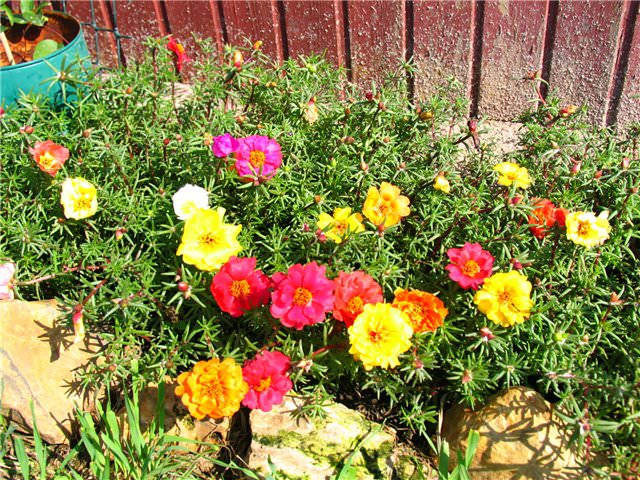 Цветы однолетки с фото