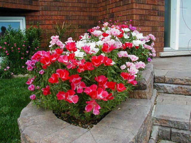 Однолетнее цветы в саду фото