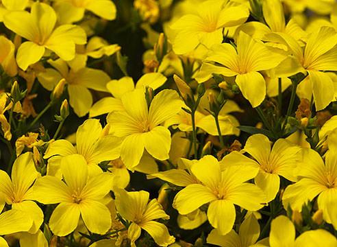 Цветок лен фото