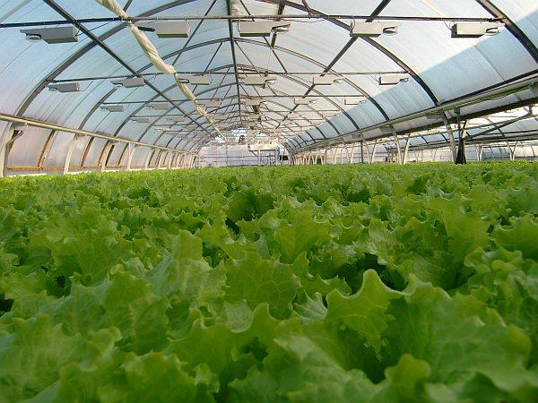 Выращивание зеление в теплице видио