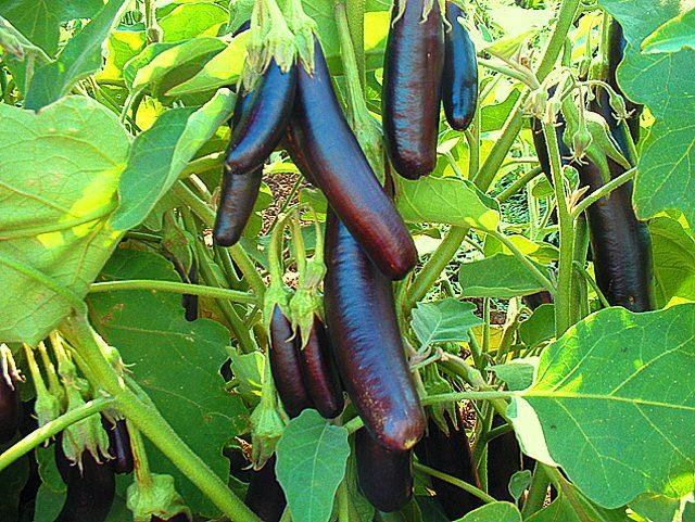 Сорта высокорослых баклажан