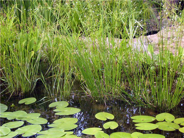 Какие растениянужно посадить в декоротивный пруд?