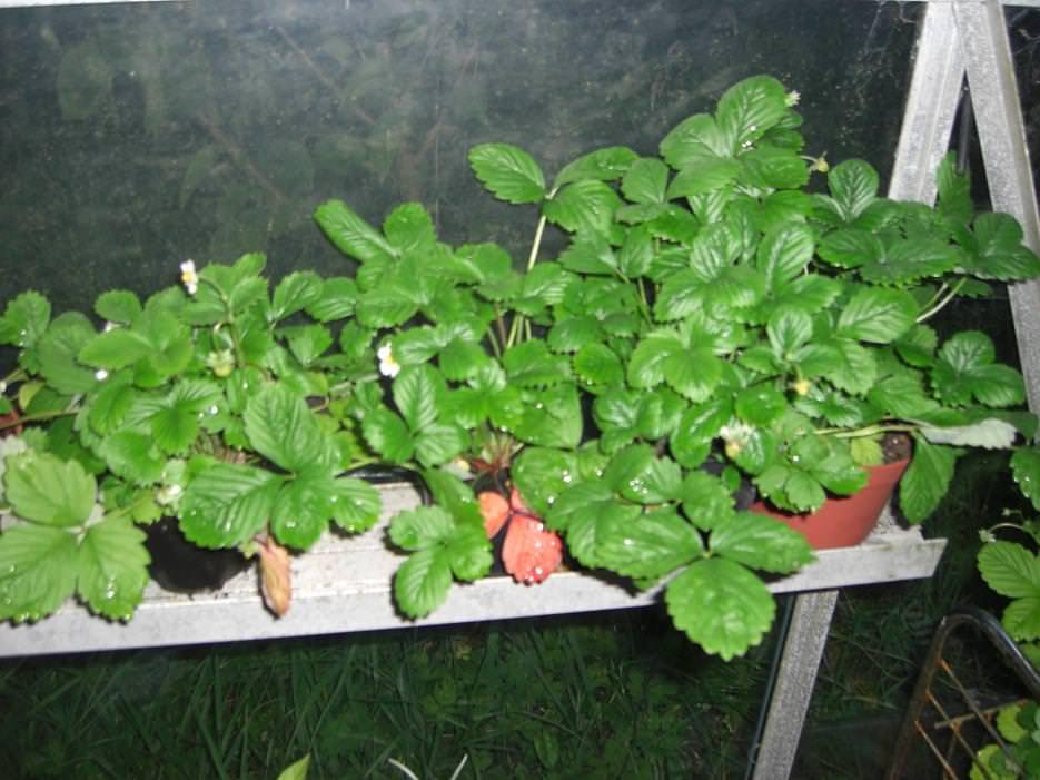 Когда лучше посадить землянику на рассаду?