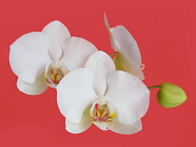 Многолетния орхидея и уход